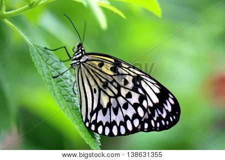 Two Paper Kite Rice Paper or Large Tree Nymph butterfly (Idea leuconoe)
