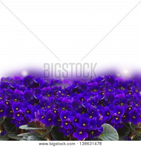 Posy of fresh growing violet flowers over white background