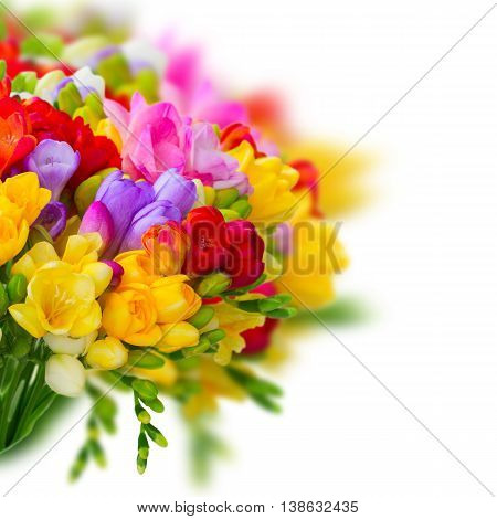 Fresh freesia flowers and buds posy close up over white background