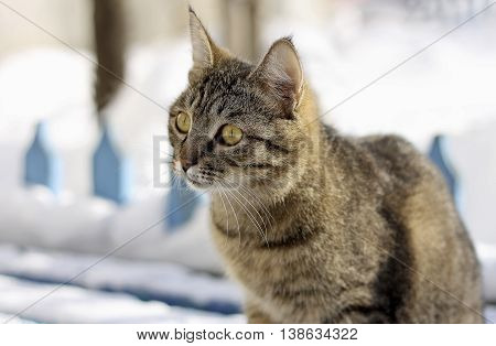 Adult tabby cat sitting in the winter on a snowy bench in the background of the old wooden fence. The face of a cat close up.