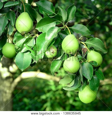 Fresh pears hang on the tree. How to grow pears in the fruit garden. Orchard background.