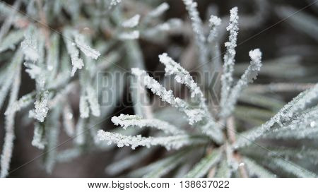 Pine branch with long green needles covered with snow in winter frosty day
