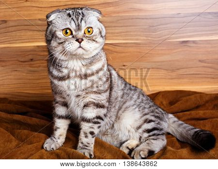 Beautiful bicolor stripes cat with yellow eyes Scottish Fold on wooden background