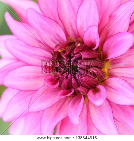 beautiful dahlia blossom.