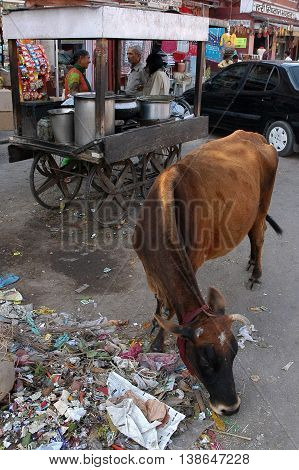 Jaipur, India - february 22, 2006. Cow foraging for food in the garbage of a street in Jaipur