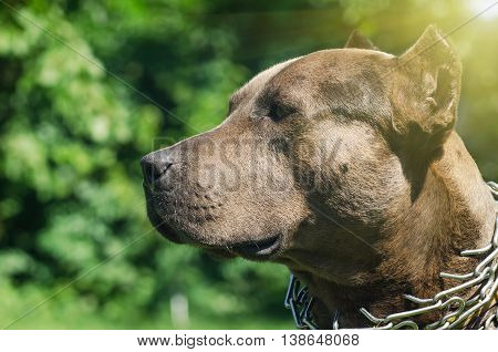 Portrait of a pit bull, closeup, outdoors
