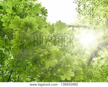Mixed forest with chestnut tree and beech tree in the sun. Low angle view to the tree tops with smooth light. Nature background in springtime with fresh green leaves and copy space.