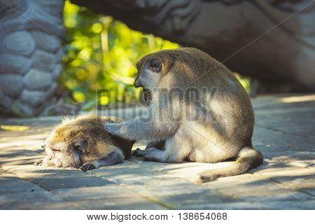Rhesus monkey grooming spa in forest, Bali, Indonesia