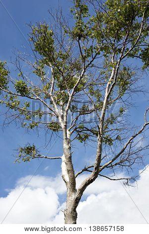 single leafed tree against a blue cloudy sky