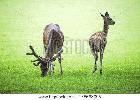 Beautiful Red Deer Stag And Doe In Bright Summer Sunlight Grazing In Field