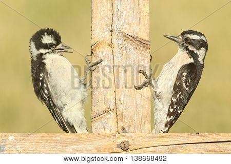 Female Downy Woodpecker (Picoides pubescens) on a fence with her baby