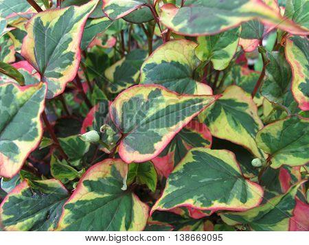 Chameleon plant, Houttuynia cordata, in home garden