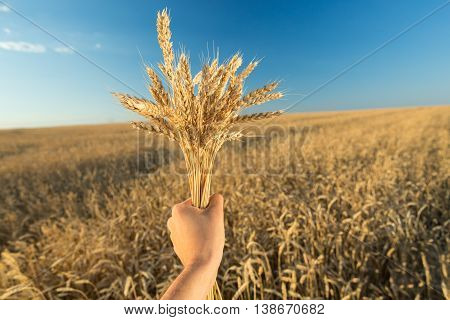 Man holds a ripe wheat . Man hands with wheat. Wheat field against a blue sky. wheat harvest in the field. ripe wheat closeup.