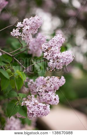 Lilac branch. Spring blossoming of a lilac. Lilac bush.