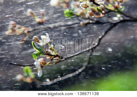 Spring rain. Spring blossoming of an apple-tree. Spring blossoming of cherry. The blossoming apple-tree. The blossoming apricot. Rain on long exposure.