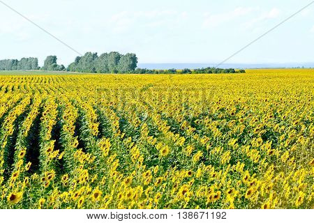 Field with yellow flowers of sunflower on background of trees and blue sky