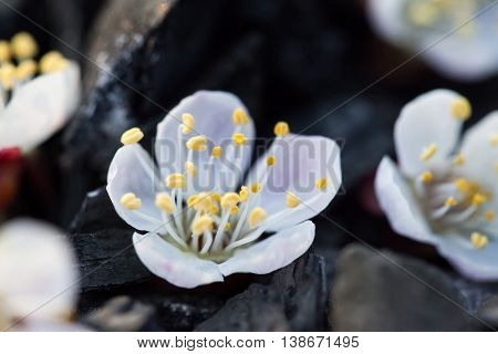 White flower close up. Cherry flower on a black background. The blossoming apple-tree. The blossoming cherry. The blossoming apricot.