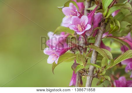 Beautiful Pink Flowers. Blossom Pink Flowers On Tree. Branch With Pink Flowers