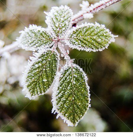 Frosted thorn-bush leaf cluster in winter garden.