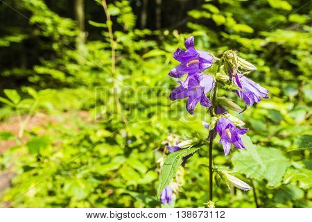 Campanula Trachelium L..
