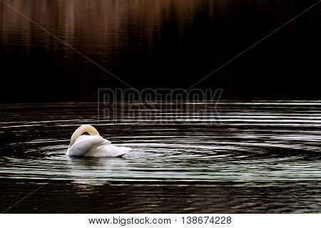 Lonely swan rest on the dark  lake
