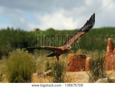 Close up of a Harris Hawk in flight