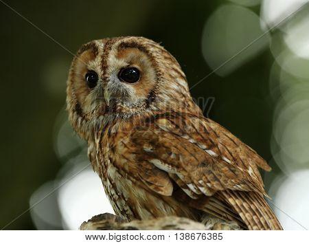 Close up portrait of a Tawny Owl