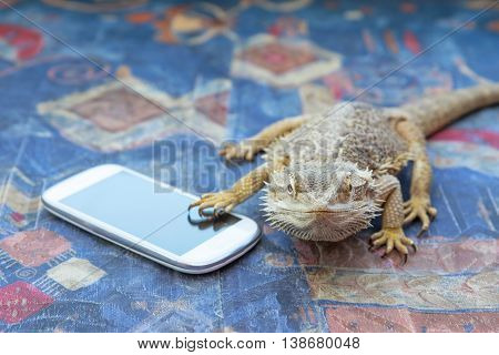 Closeup front view of Agama lizard lying on a sofa. Smart phone is lying under its paw. Agama is looking at the camera. All potential trademarks are removed.