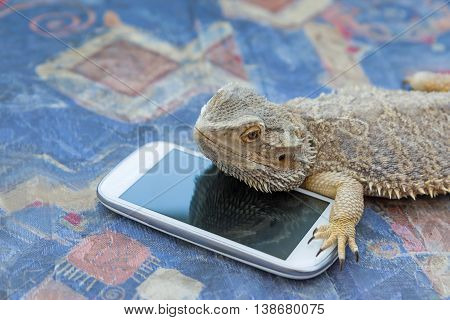 Side view of Agama lizard lying on a sofa. Smart phone is lying under it. Agama is looking at the camera. All potential trademarks are removed.