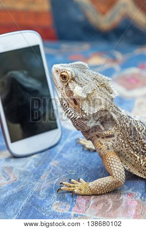 Agama lizard is lying on a sofa and is looking at smartphone. Its reflection is on the screen smart phone. All potential trademarks are removed.