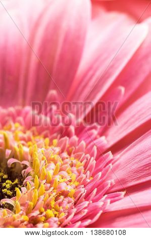 Closeup view of the pink Chrysanthemum flower,  Vertically.