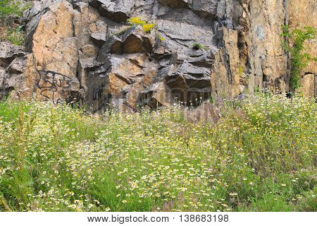 Meadow of camomile flowers near the rock