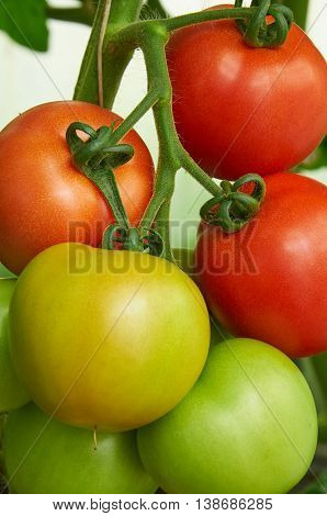 Different Stage Of Ripening Tomatoes On One Branch