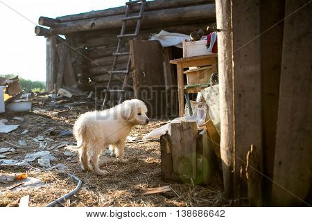 Young Maremma or Abruzzese white Sheepdog puppy