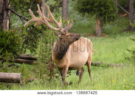 A large bull elk grazes alone in the rain at Yellowstone