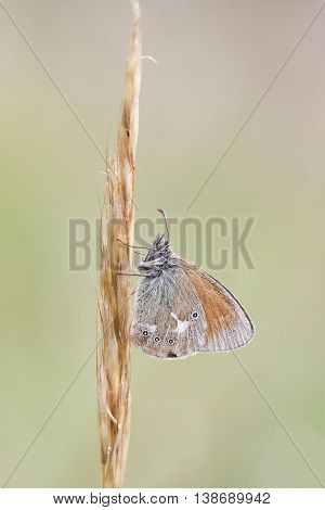 Closeup of a small orange butterfly on a thick hay straw