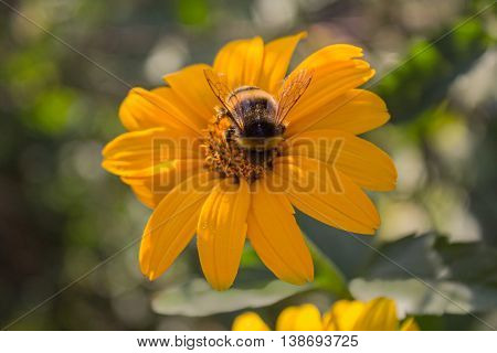 Bee pollinates a yellow flower close-up. Nature