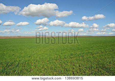 Wheat field in early spring. Farming in eastern Europe