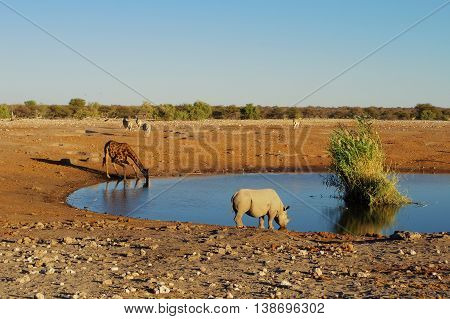 Rhino and giraffe drinking together at the waterhole