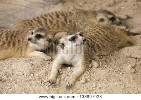 Three Meerkats resting together and looking something