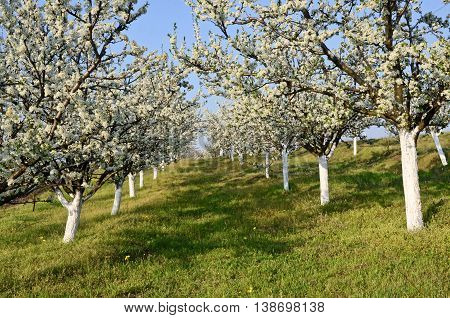 Small plum orchard in blossom. Fruit growing in central Europe.