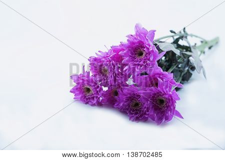 pink daisy flower purple daisy flower on white isolate background text word on background daisy flower beautiful daisy lovely daisy pretty daisy fresh daisy
