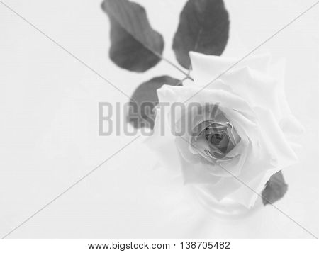 Beautiful rose of monotone on white background
