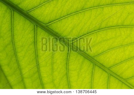 Stock photos of plumeria leaf texture and high quality