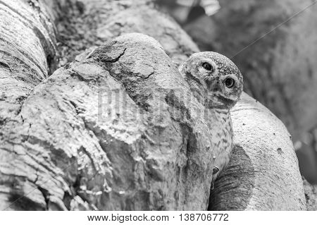 Black and White, Owl hire on the tree hole