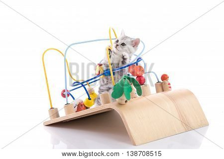 Cute american shorthair kitten playing wooden toy on white background isolated