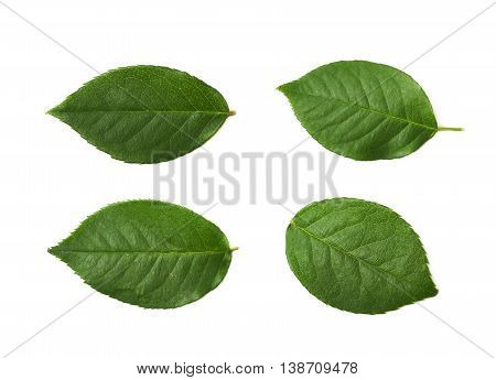 Single green rose leaf isolated over the white background, set of four different foreshortenings
