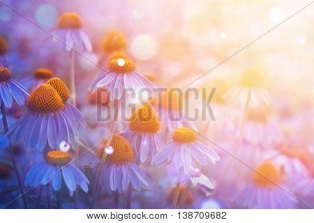 Purple coneflowers in the sunlight.
