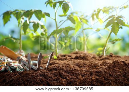 Gardening tools and tomato seedlings in the field