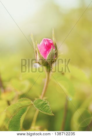 Rosebud on the Branch in the Garden. Natural Background. Close up photo of a pink rose. A macro shot of a flower summertime